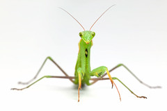 42-16444551 (gonz portas) Tags: green animals cutout mantis insect nobody whitebackground exotic predator prayingmantis frontview invertebrate lookingatcamera