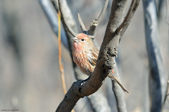 Long-tailed Rosefinch (Jaeksong64) Tags: bird longtailed rosefinch