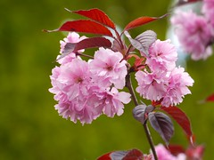 Cherry blossom (AxsMan) Tags: lumixgvario45200f4056