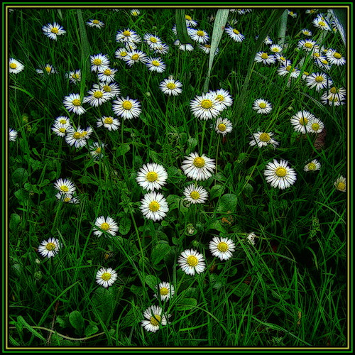 Little Spring Daisies
