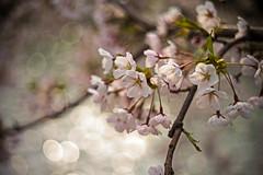 A Bunch of Blossom (moaan) Tags: life leica water 50mm spring dof blossom bokeh dr may summicron utata aomori cherryblossom sakura blossoming moat  m9 f20 hirosakipark 2013 inlife  leicasummicron50mmf20dr leicam9