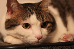 Poor Guy (Liz du Canada) Tags: mystery cat baxter sick illness poorly allergens padmay13