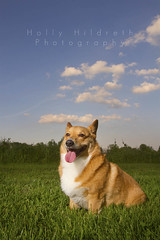 Sunset Corgi (hhildrethphoto) Tags: columbus sunset ohio usa dog pets smiling animals canon puppy outside outdoors pembroke happy photography spring corgi hiking happiness stoli panting welsh westerville stolichnaya sharonwoods metropark speedlite offcameraflash 580exii hollyhildreth