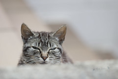 el espia / the spy (MaraLuisa ) Tags: friends cats animal animals bokeh gatos spy canon100mmf28 canon100mmf24