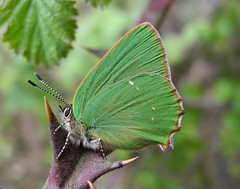 Green Hairstreak (Callophrys rubi) (Rezamink) Tags: uk butterflies greenhairstreak callophrysrubi