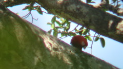 IMG_0058 (wildglio) Tags: bird costarica places macaw takenby encantalavida geoffc macawscarlet