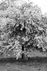 Full Bloom (Cris Ward) Tags: park uk flowers blackandwhite bw plants tree london nature monochrome contrast digital garden 50mm prime petals spring blossom britain sony monotone bloom flowering desaturated hydepark growing alpha f18 dslr amateur beginner greyscale blooming a450 50mmdtsam