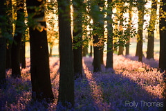 Bluebells At Sunset (Polly-Thomas) Tags: light sunset bluebells forest woods woodlands goldenhour ashridge ashridgeforest ashridgeestate dockeywood nikon70200mmf28 nikond3s