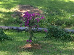June flowers at home (V Willendorf) Tags: trees hope for three grow bougainvillea got they them these 300 each i