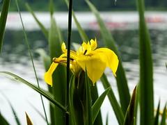 Yellow lily at Lago Baldini (einervonneruhr) Tags: flower nature yellow essen lily natur olympus gelb nrw blume ruhrgebiet lilie omd ruhrpott baldeneysee 1250mm mzuiko