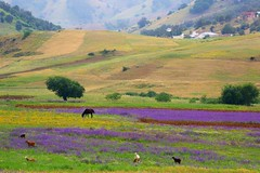 Moroccan Field (Perry McKenna) Tags: horse field sheep meadow goat morocco wildflowers pastoral
