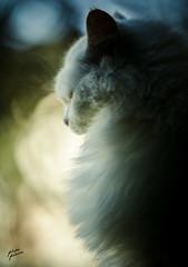 Minas (Photo Ferreira) Tags: brazil brasil cat canon mina gato 5d santacatarina felipe ferreira joaaba gatobranco 5dmarkii felipeferreira