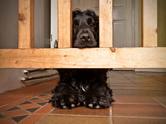Chin Rest (Photo Gal 2009) Tags: dog look tile paw gate waiting looking floor watch watching canine blackdog wait rest resting cockerspaniel chin peer floortiles peering bazil bigpaws woodgate woodengate dogpaws chinrest blackpaws doggate fluffypaws blackcocker workingcockerspaniel cockerdog welshquarrytiles