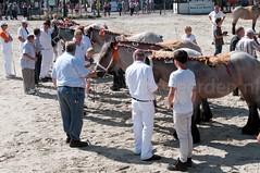 DSC_2342 (Ton van der Weerden) Tags: horses horse dutch de cheval belgian nederlands belges draft chevaux belgisch trait ijzendijke trekpaard trekpaarden