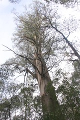 Mountain Ash - Kalatha Giant Tree reaches for the sky (John Englart (Takver)) Tags: possum forestry logging victoria mountainash toolangi leadbeaterspossum markbutler sylviacreekroad kalathatree
