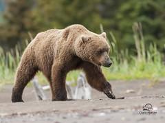 Young Male Brown Bear (Boar) Emerges from Woods (Glatz Nature Photography) Tags: bear alaska wildlife grizzly predator animalplanet brownbear ursusarctos grizzlybear cookinlet brownbears usnationalparks lakeclarknationalpark coastalbrownbear hganimalsonly photocontesttnc13