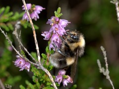 White-tailed Bumblebee,  Bombus lucorum, male, Thetford Warren Lodge,  Norfolk   DSC_9546 (Cladoniophile) Tags: bumblebee bombus hymenoptera humblebee apidae