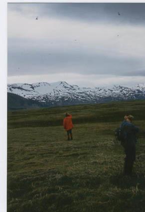 Kríur við Sílalæk