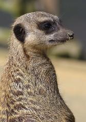 """Meerkat """"Simple's"""" (favmark1) Tags: meerkat"""