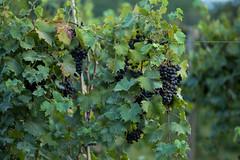 Nature-7 (captainkanji) Tags: nature vineyard illinois grapes carbondale southernillinois ef70200mmf4lusm enjoyillinois canon6d