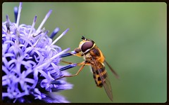 Hover fly 1 (Rob McC) Tags: flower macro insect fly flora hoverfly