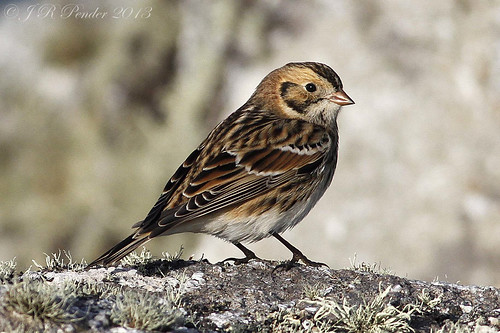 """Lapland Bunting (J.Pender) • <a style=""""font-size:0.8em;"""" href=""""http://www.flickr.com/photos/30837261@N07/10307303786/"""" target=""""_blank"""">View on Flickr</a>"""