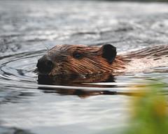 Maine-beaver-5 (egdc211) Tags: nature beaver mainewildlife