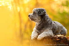 dog lying on a tree trunk in autumn (Partridge-PetPics) Tags: autumn light sunset dog sun yellow forest log colorful warm looking treetrunk lying bole highquality