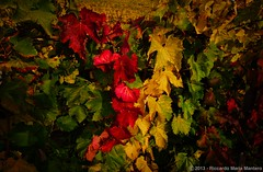 Red Yellow and Green Vines (Riccardo Maria Mantero) Tags: flowers autumn red green fall nature colors leaves yellow fruit outdoors vines wine fineart vine winery foliage strong contrasts afszoomnikkor2470mmf28ged riccardomantero riccardomariamantero ljsilver71