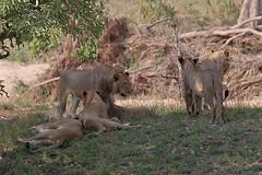 DSC_5430 (Arno Meintjes Wildlife) Tags: africa animal southafrica wildlife lion safari bigcat predator krugerpark big5 pantheraleo parkstock arnomeintjes