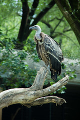 RUPPELLS GRIFFON VULTURE (Toby Hayman) Tags: bird cat washingtondc smithsonian dc nationalzoo vulture woodleypark