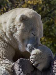 Just a Giant Teddy Bear (Explore) (NM Flower Girl) Tags: bear white canon bravo albuquerque polarbear winterfire whitebear winterfirephotographicarts
