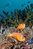Amphiprion nigrigis (Black-Finned Anemonefish) - Maldives