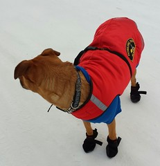 Rosie dressed for winter in booties, red arctic Howling Dog Alaska jacket, snow, Anchorage, Alaska (Wonderlane) Tags: winter red dog snow alaska for rosie arctic anchorage jacket dressed booties howling wonderlane rosiedressedforwinterinbooties redarctichowlingdogalaskajacket