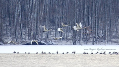 Winterscape at Middle Creek IMG_2454 (MarjRemi) Tags: trees winter white snow ice nature outdoors frozen geese inflight wings pennsylvania january swans frigid tundra winterscape tundraswans cygnuscolumbianus middlecreekwma middlecreekwildlifemanagementarea canon100400mmf4556 canoneos60d marjremi