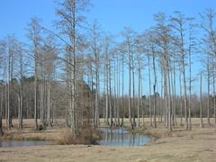 A Cypress Swamp (jimmywayne) Tags: rural north alabama historic pasture swamp cypress baldwincounty