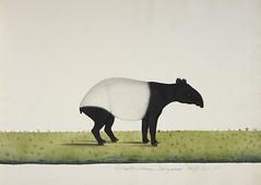 Anglų lietuvių žodynas. Žodis malayan tapir reiškia malajinis tapir lietuviškai.