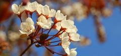 Plum flower (hartp) Tags: blue white flower deutschland spring plum blau frühling blüten straubing weis pflaume hartp