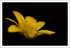 Fiore 152 (Outlaw Pete 65) Tags: black flower macro yellow closeup italia colours giallo fiore colori brescia lombardia nero sigma105mm nikond300s
