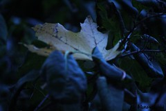 difference is beauty (allonewildchild) Tags: fall nature beauty leaf maple alone different child seasons odd difference standout fromcannont2i allonewild