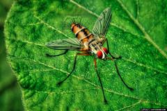 fly2 (Barny Bean) Tags: macro bug thailand fly phuket inscet photomatixpro hdrphotography singleexposurehdr psuedohdr topazadjust tonemappedimage