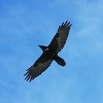 Raven overhead, 2014 Keurig Cup at Grouse Mountain PHOTO CREDIT: John Preissl