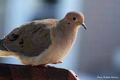 Le printemps... petit pas... / Small steps to spring... (Pentax_clic) Tags: bird fauna spring quebec triste printemps oiseau tourterelle faune vaudreuil robertwarren