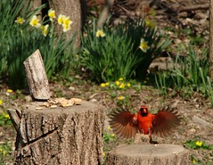 Short Stump Landing (mcnod) Tags: cardinal april peanut ferndale 2014 northerncardinal mcnod stumpfeeder