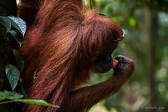 Ratna 4766 (Ursula in Aus) Tags: animal sumatra indonesia unesco orangutan ape greatape bukitlawang ratna gunungleusernationalpark earthasia