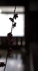 iOS 7 Wallpaper (mijabi) Tags: wallpaper flower japanese background plum 日本 iphone 梅 壁紙 背景 古民家 iphone5 iphonewallpaper アイフォン あいぽん ios7 japan2014