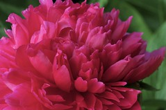 Peony in full bloom (IanAWood) Tags: peony manualfocus hertfordshire rickmansworth d300 flowermacros flowercloseups flowersofspring walkingwithmynikon nikkormicropce85mmf28d