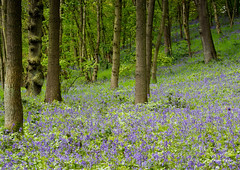 Blue Carpet (Alan-Taylor) Tags: uk flower nature bluebells canon spring woods yorkshire leeds bluebell pudsey 600d