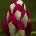 Rhododendron Bud thumbnail