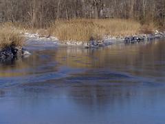 P1280030 (Paul Henegan) Tags: winter snow ice reflections reeds morninglight grasses rightbank hackensackriver gelation